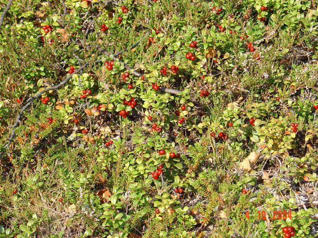 Bæe, høst, tyttebær